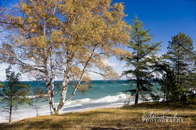 BD010-Lake-Superior-Birch-Study-2.jpg