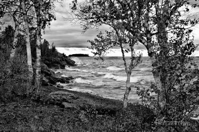 BD011-Lake-Superior-Birch-study.jpg