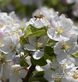 FLR001-Apple-Blossoms.jpg
