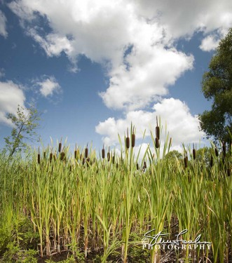 FLR002-Cattails-And-Clouds.jpg
