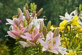 FLR021-Dewey-Pink-Flowers.jpg