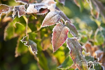 FLR033-Frosted-Holly.jpg