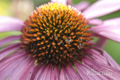 FLR065-Purple-Cone-Flowers-2.jpg