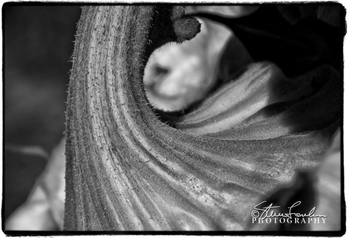 FLR080-Sunflower-2.jpg
