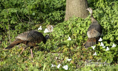 FLR102-Turkeys-1.jpg