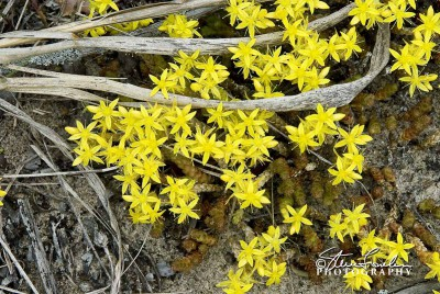 FLR110-Yellow-Beach-Flowers.jpg