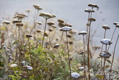 FLR121-Frosty-Morning-Weeds.jpg