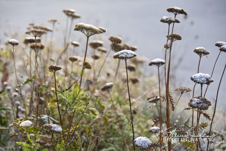 FLR121-Frosty-Morning-Weeds.jpg
