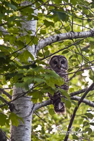 MSC128-Owl.jpg