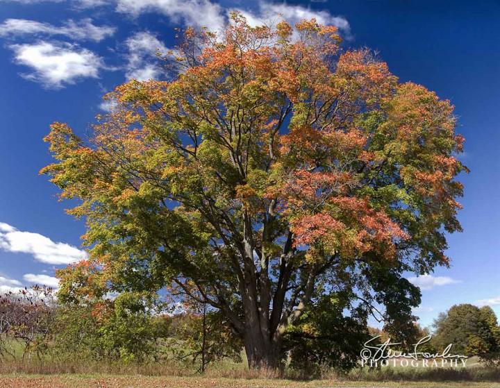 TRE043-Big-Tree-Autumn.jpg