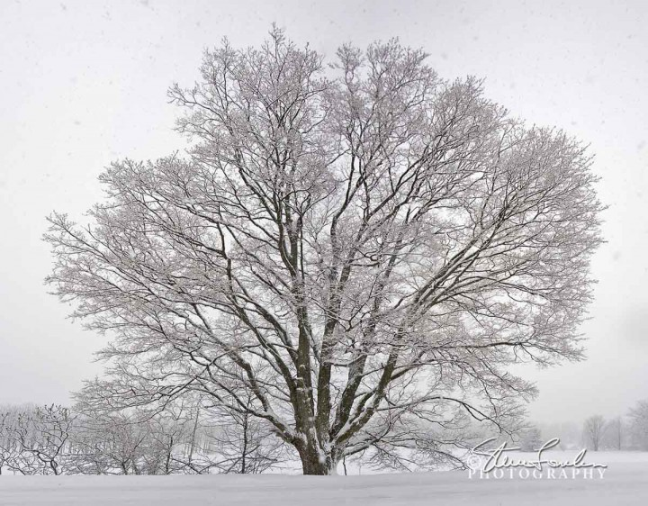 TRE044-Big-Tree-Falling-Snow.jpg