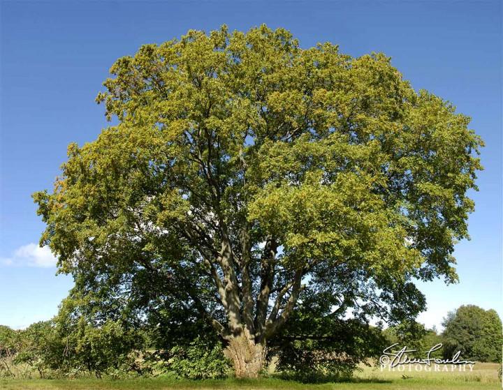 TRE046-Big-Tree-Summer.jpg