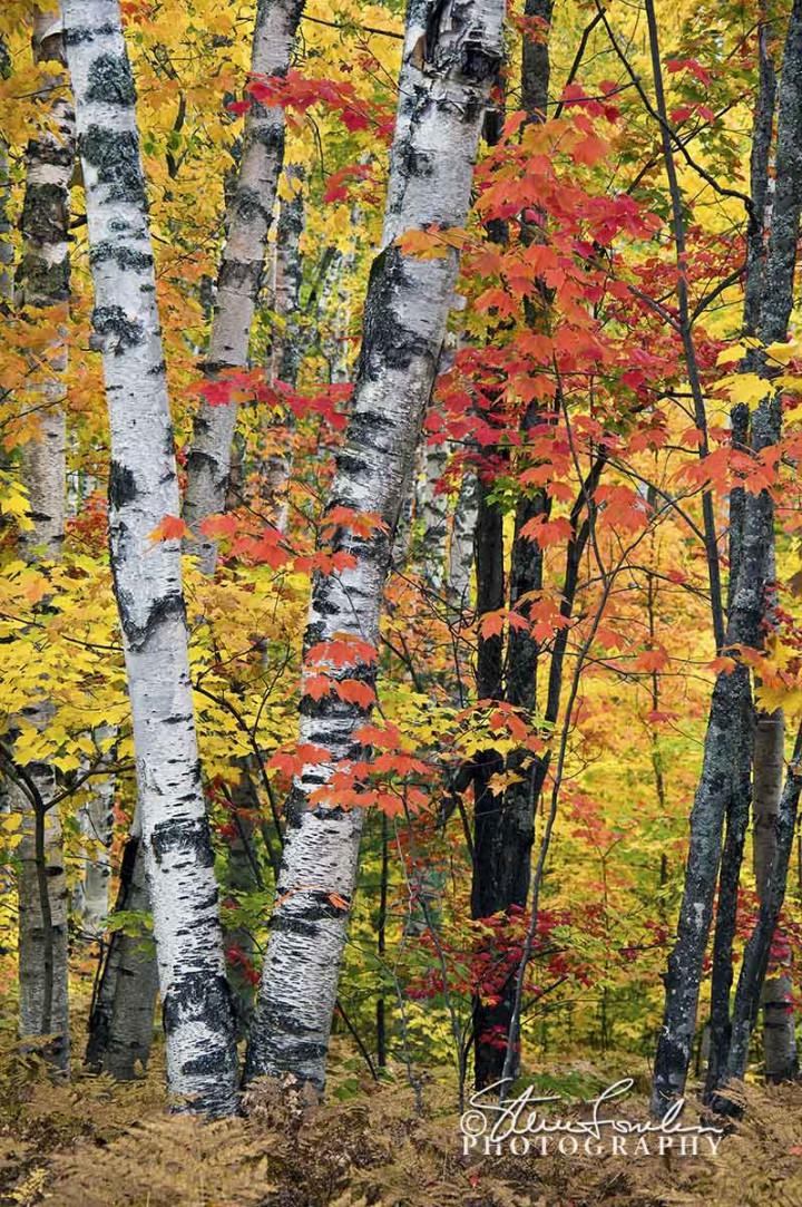 TRE055-White-Birch-Forest-6.jpg