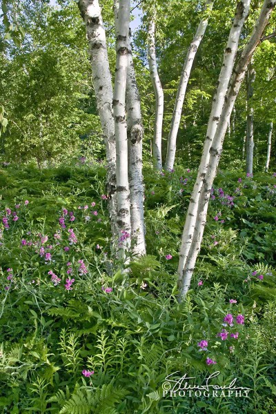 TRE084-Cottage-Birches-And-Sweet-Peas-2.jpg
