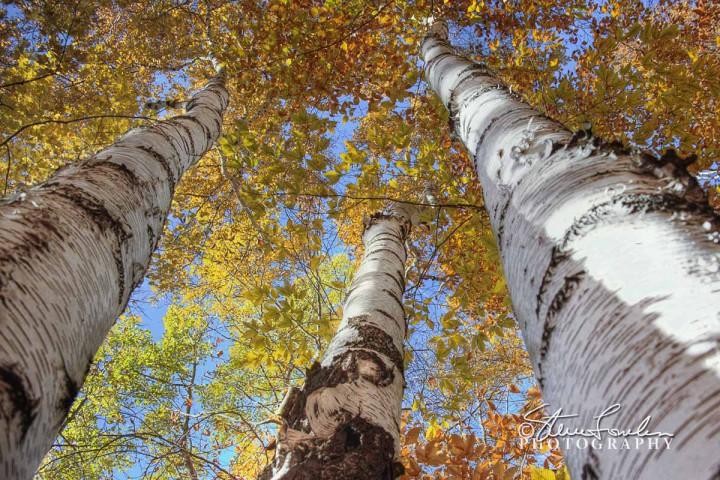TRE099-Golden-Birches.jpg