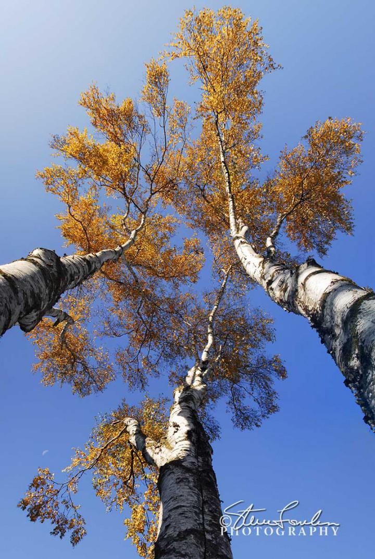 TRE101-Jims-Birches.jpg