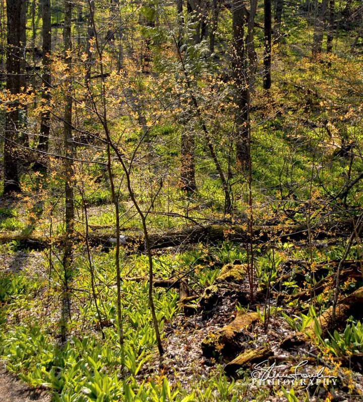 TRE139-Spring-Woods.jpg