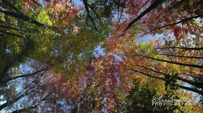 TRE155-Autumn-Treetops.jpg