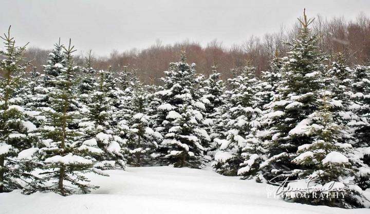 TRE170-Winter-Pines-4.jpg