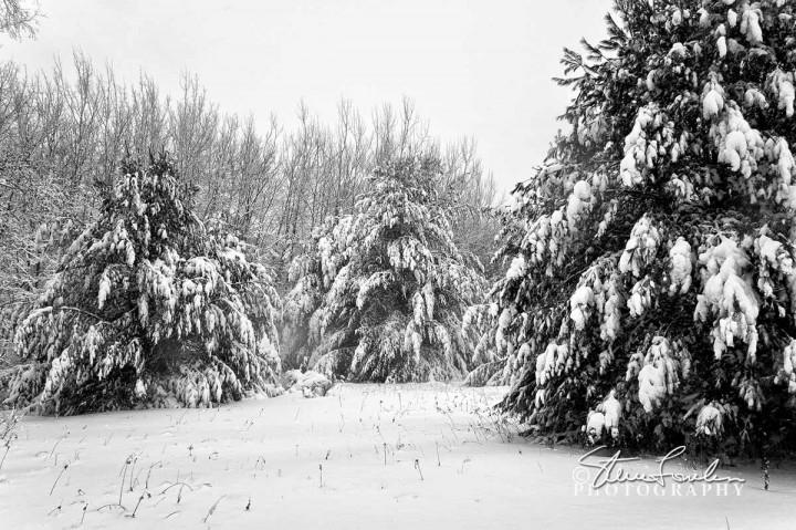 TRE193-Blizzard-Pines-1.jpg