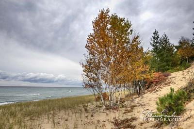 TRE244-Superior-Birches.jpg