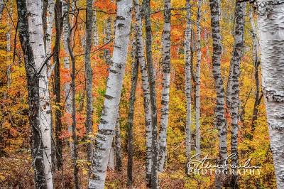 TRE246-White-Birch-Forrest-1.jpg