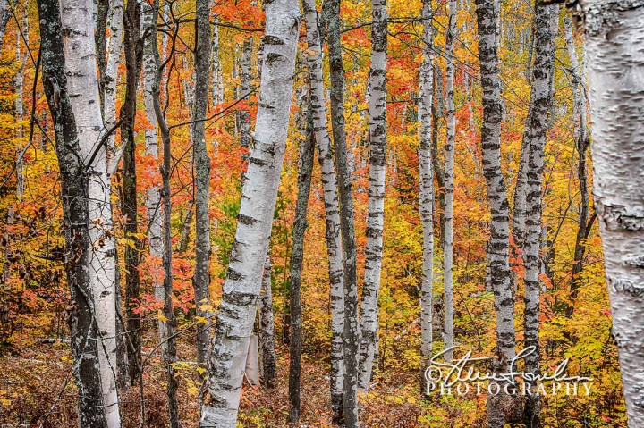 TRE246-White-Birch-Forrest-1.jpg