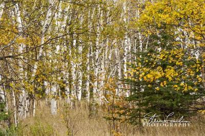 TRE253-White-Birch-Grove-3.jpg
