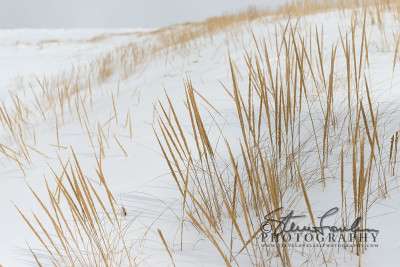 BD265-Dunegrass-In-The-Snow-