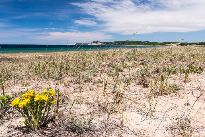 BD310-Sleeping-Bear-Dune-Lakeshore-Hoary-Puccoon-