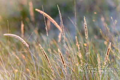 BD317-Beach-Grass-At-Sunset-