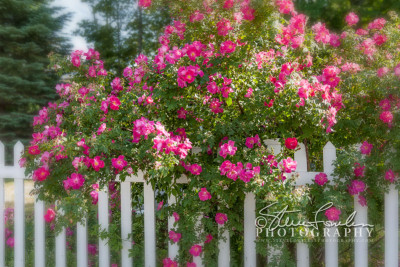 FLR136-Rose-Bush-And-Picket-Fence-Vignetted-watermarked
