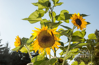 FLR139-Sunflower-Trio-watermarked