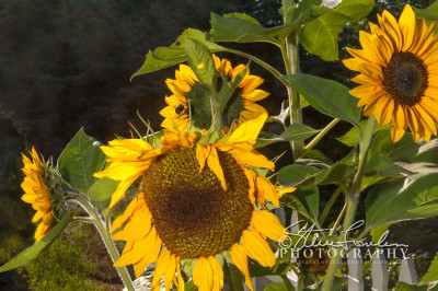 FLR140-Sunflower-Quartet-watermarked