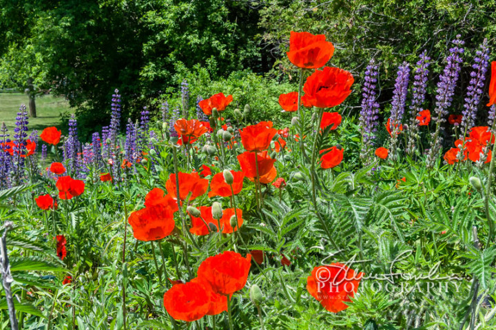 FLR143-Poppies-And-Liatris-watermarked