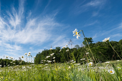 FLR157-Daisy's-Eye-View-watermarked