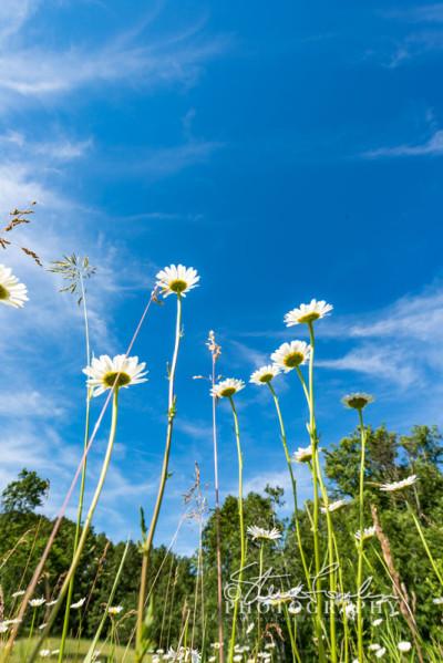 FLR158-Under-daisies-#1-watermarked
