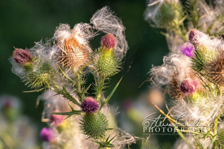 FLR162-Roadside-Thistle-#2-watermarked