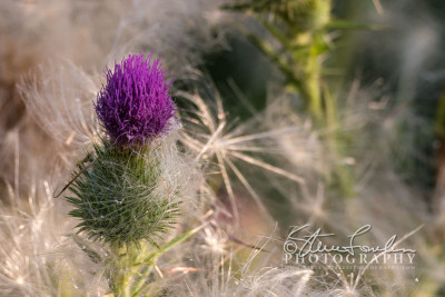 FLR163-Roadside-Thistle-#3-watermarked