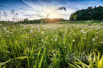 FLR164Sunset-Daisies-watermarked