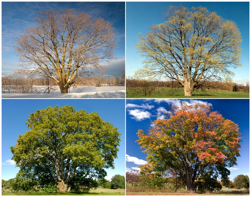 TRE208-Eldredge-Road-Maple-Four-Seasons